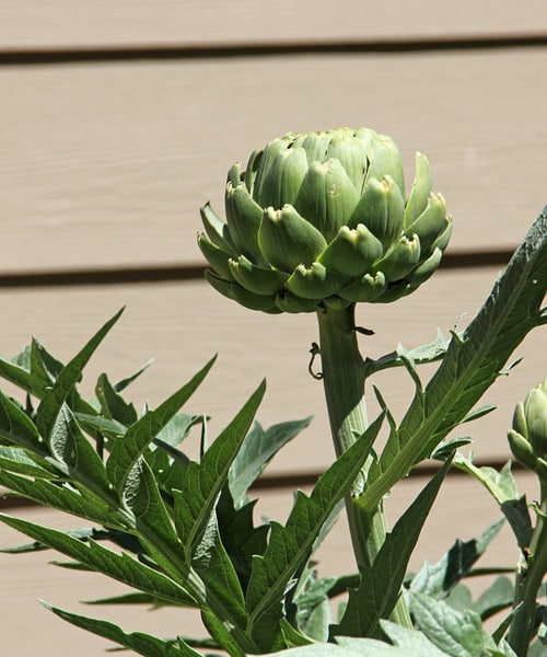 How Do You Get Into Artichokes and Cook Them?