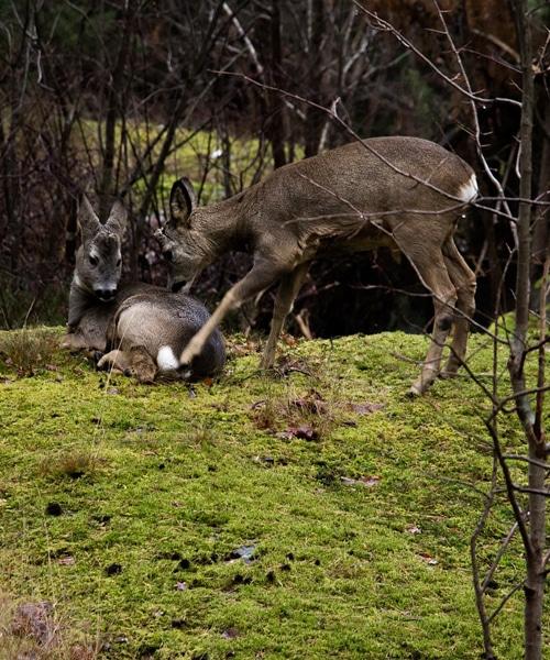 Preparing the Deer Meat