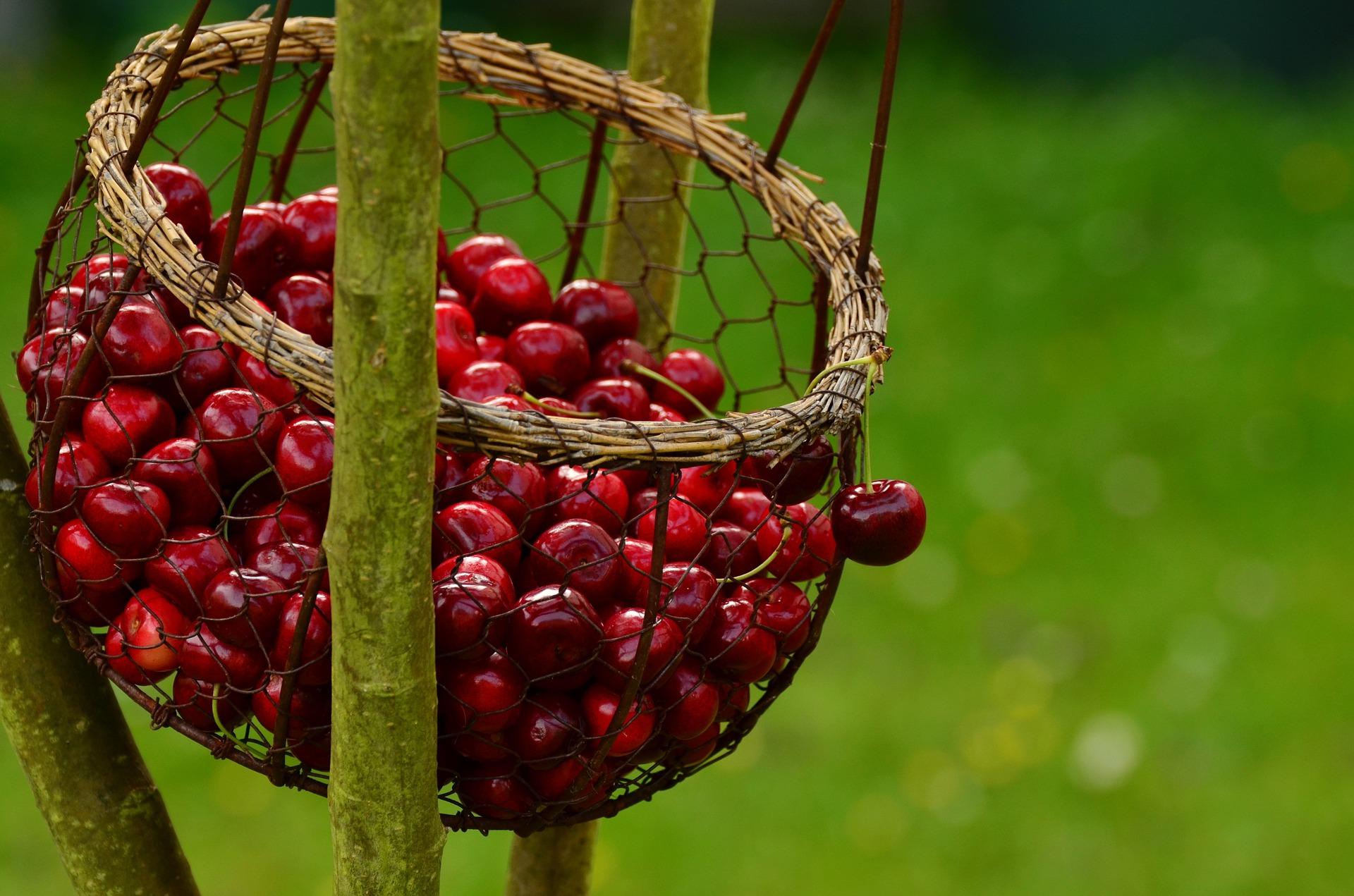 cherries in a net